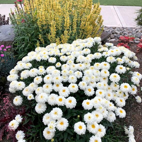 Leucanthemum Macaroon (3)