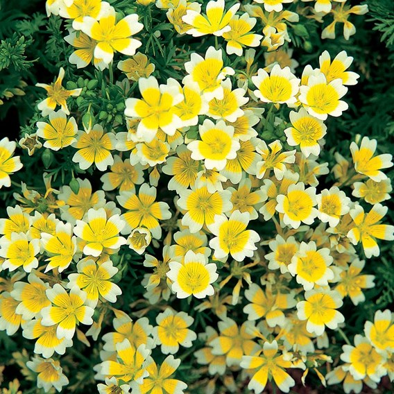 Limnanthes Seeds - Douglasii