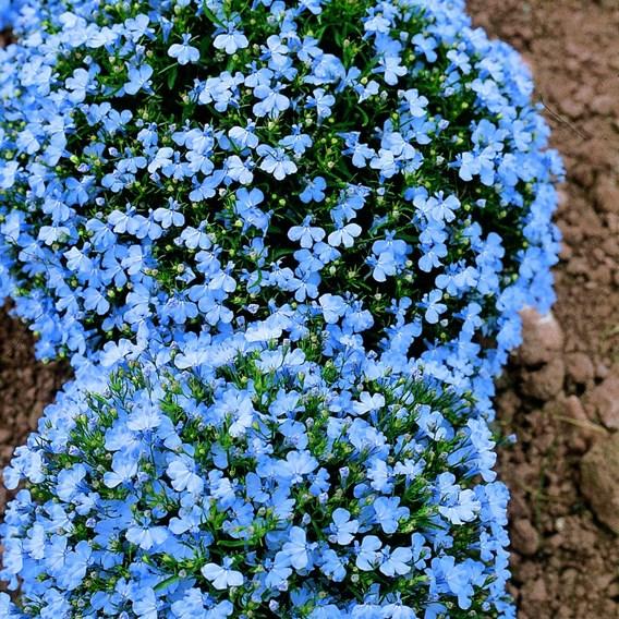 Lobelia Seeds - Cambridge Blue Pellets
