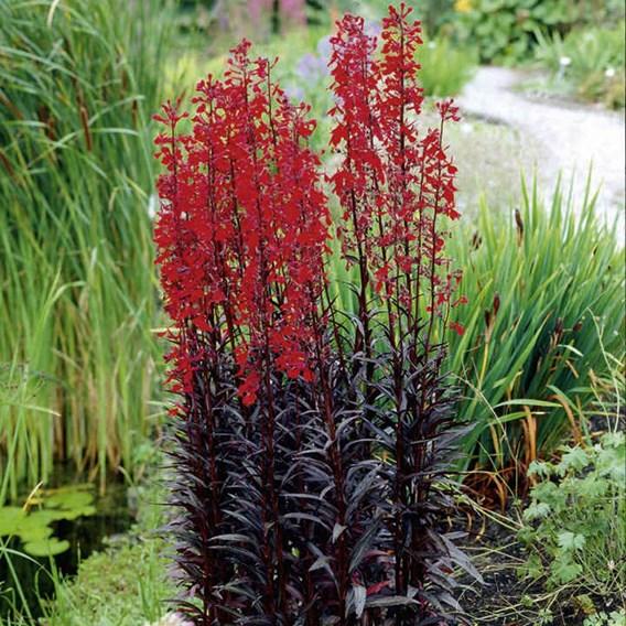 Lobelia Plants - Queen Victoria