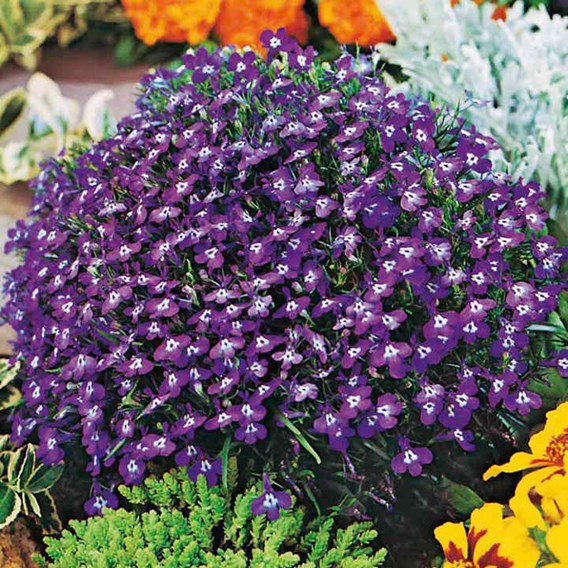 Lobelia Seeds - Mrs. Clibran Improved