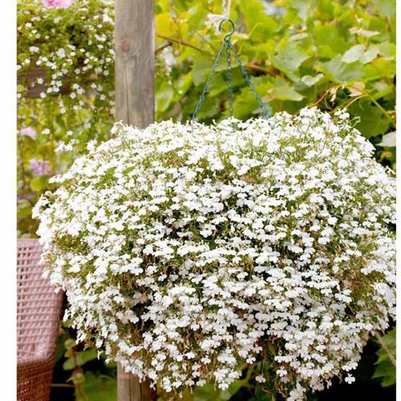 Lobelia - Cascade White Pellets