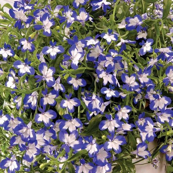Lobelia Plants - Superstar