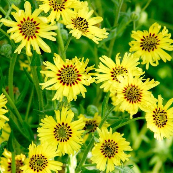 Madia Elegans Seeds - Caribbean Daisy