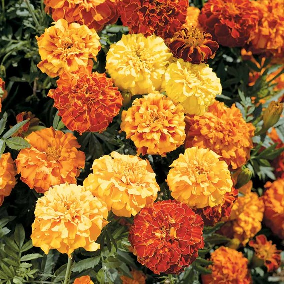 Marigold (Afro-French) Seeds - Zenith F1 Series