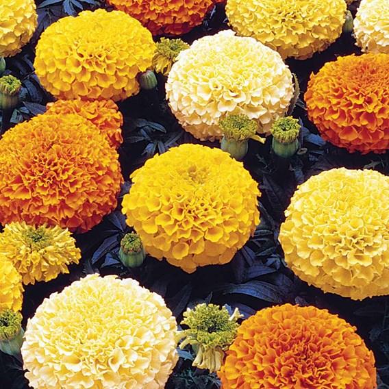 Marigold Plants - Marvel Mixed