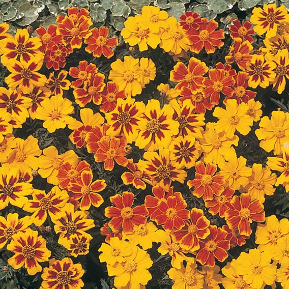 Marigold (Dwarf French) Seeds - Disco