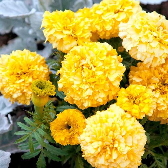 Marigold (African) Seeds - Lemon Hedger