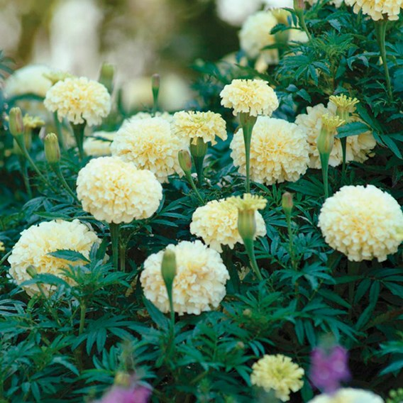 Marigold (African) Seeds - French Vanilla F1