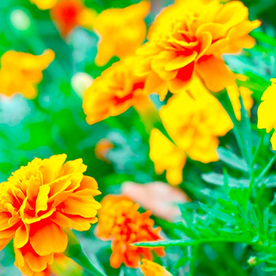 Marigold (French) Seeds - Defender