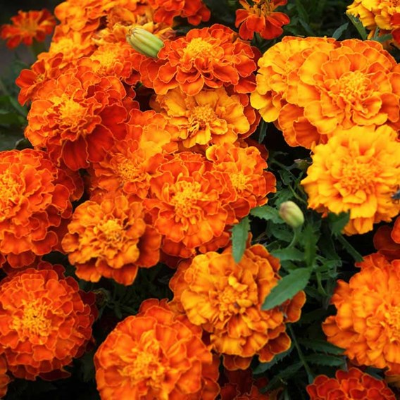 French Marigold Seeds- Tiger Eyes