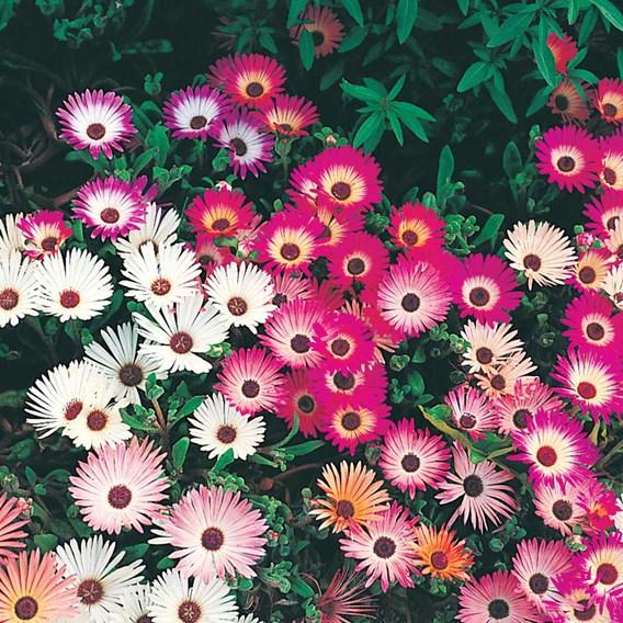 Mesembryanthemum Seeds - Criniflorum