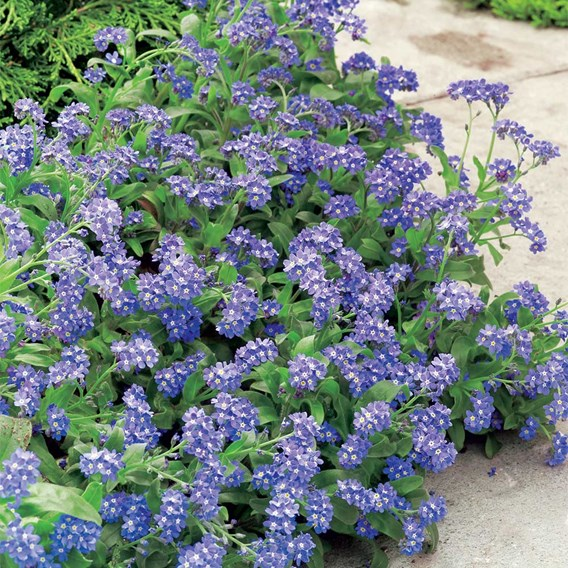 Forget-Me-Not Potted Plants - Sylva Blue