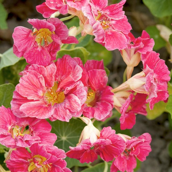 Nasturtium - Jewel Cherry Rose