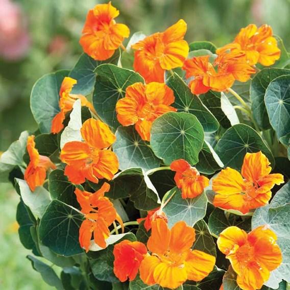 Nasturtium Seeds - Baby Orange