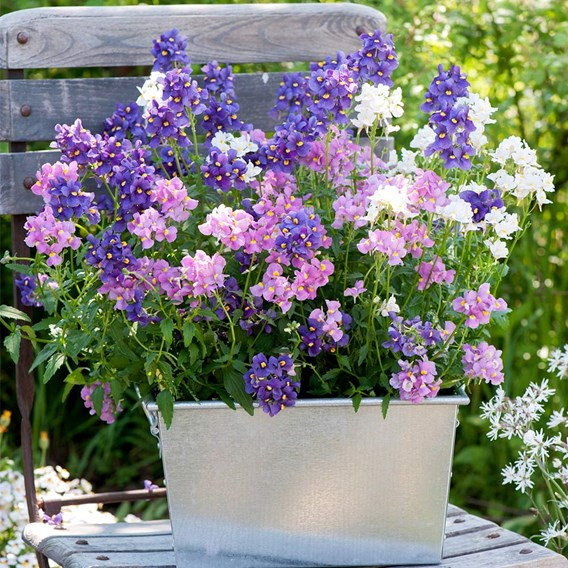Nemesia Plants - Poetry