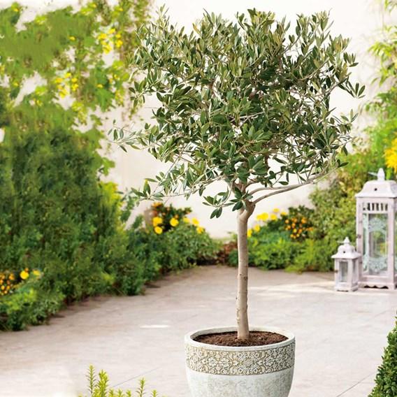 Olive Tree - Large