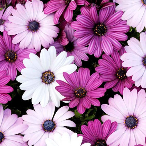 Osteospermum Plants - Berries & Cream