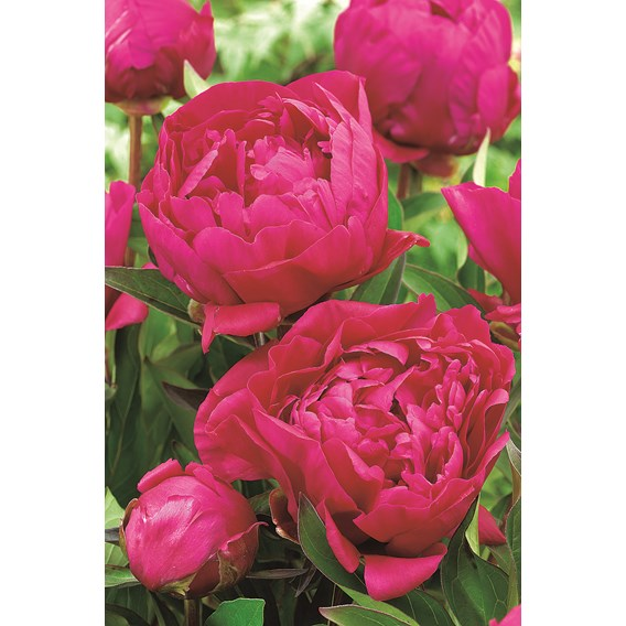 Peony Plant - Karl Rosenfield 1 bare root