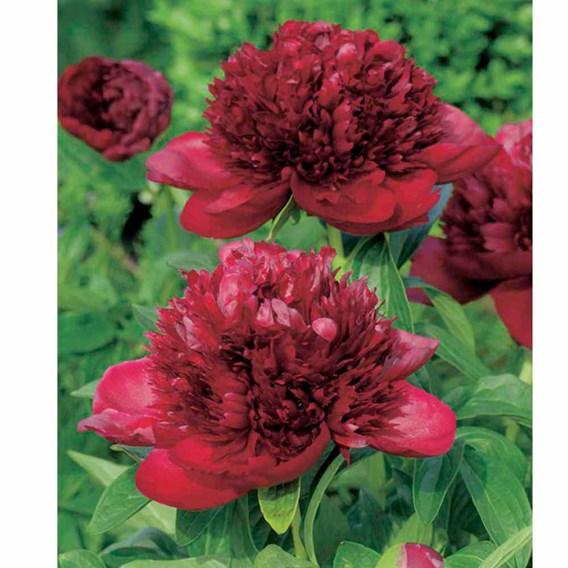 Peony Plant - Red Charm