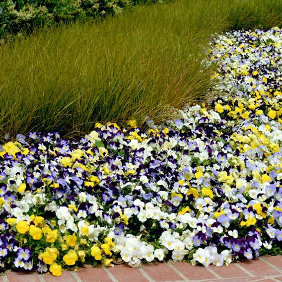 Pansy Plants - Cool Wave Mixed