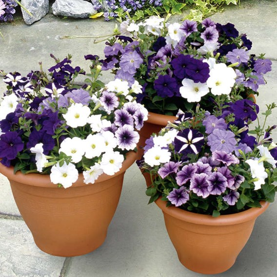 Petunia Plants - Frenzy Grand Rapids