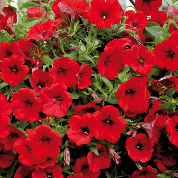 Surfinia Large Flowered Deep Red (6)