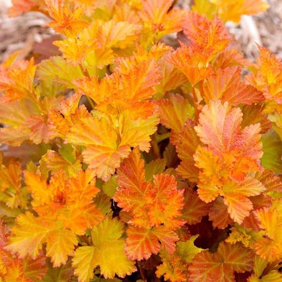 Physocarpus op. Amber Jubilee