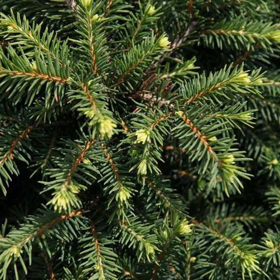 Picea omorika 'Karel'