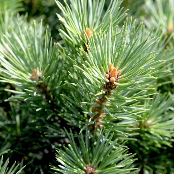 Pinus Sylvestris Watereri