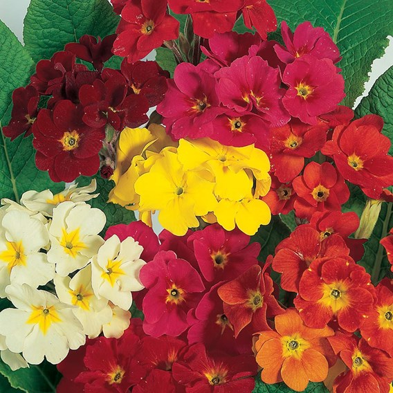 Polyanthus Seeds - Dobies Superb Mixed