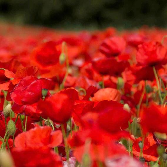Poppy Seeds - Rhoeas