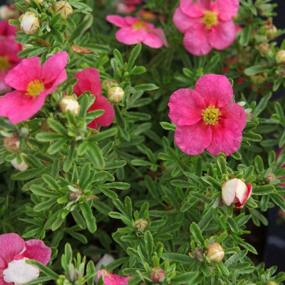 Potentilla fruticosa Plant - BELLISSIMA  Noble®
