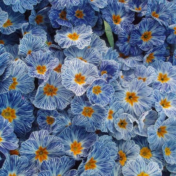 Primula Plants - Zebra Blue
