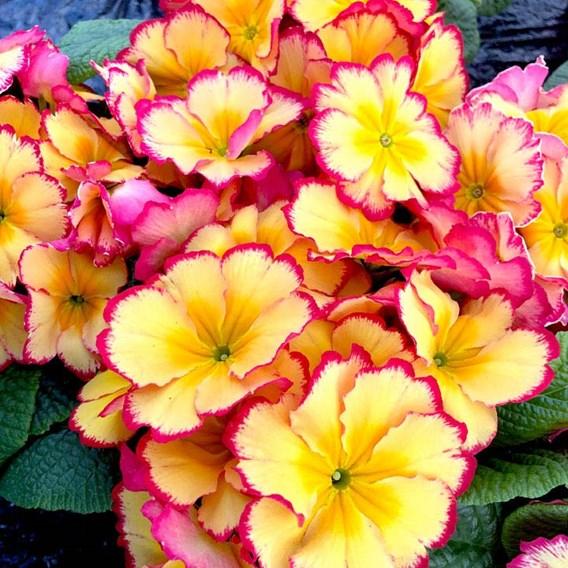 Primula Plants - Rhubarb & Custard