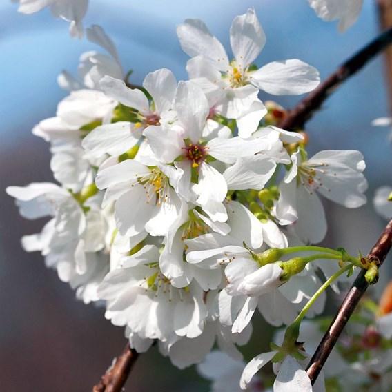 Flowering Cherry Snow Showers