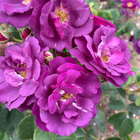 Rose Plant - Rhapsody in Blue