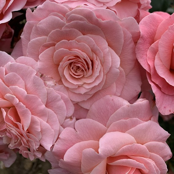 Rose Plant - Tickled Pink