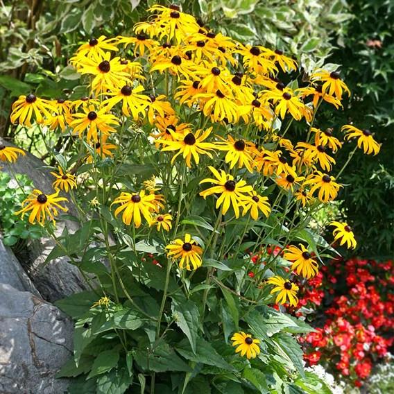 Rudbeckia Plants - Goldsturm