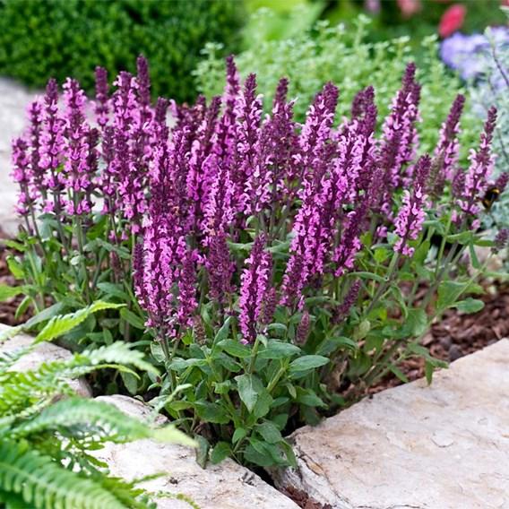 Salvia Plant - New Dimensions Mix