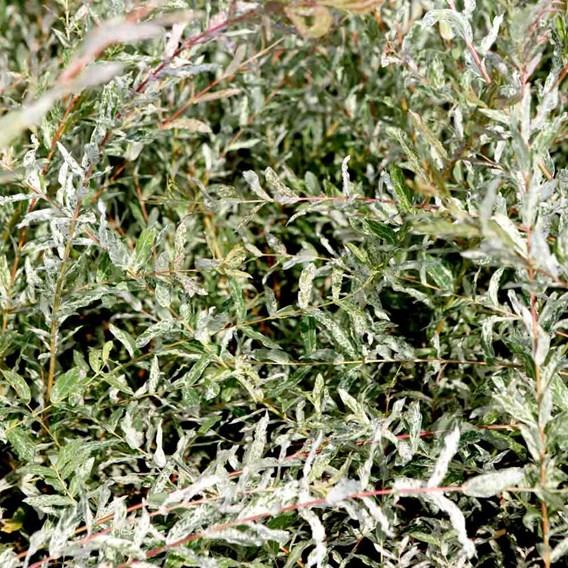 Salix Integra Hakuro-Nishiki