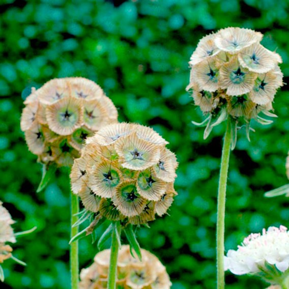 Scabious Drumstick