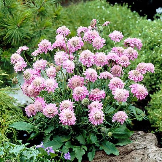 Scabiosa Plants - Pink Diamond
