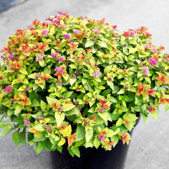 Spiraea japonica 'Magic Carpet'®