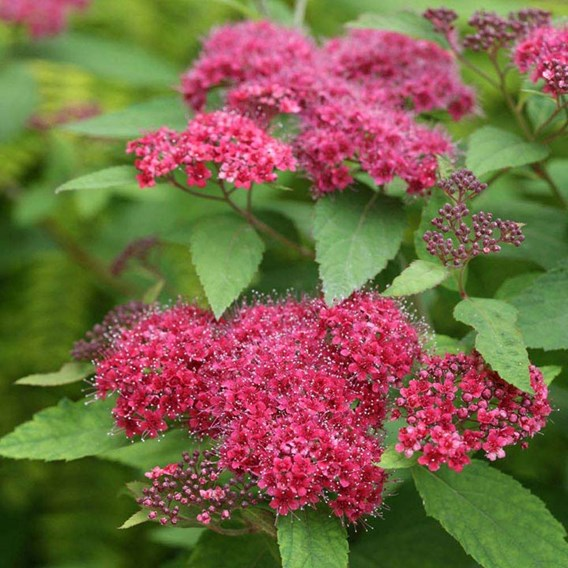 Spiraea japonica DOUBLE PLAY® RED Proven Winners®