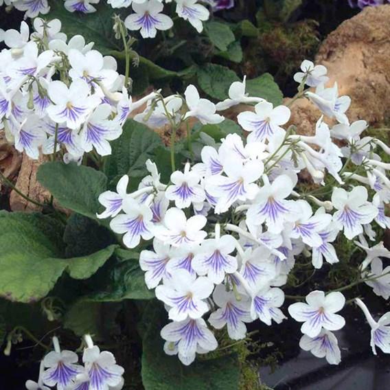 Streptocarpus Plant - Gwen