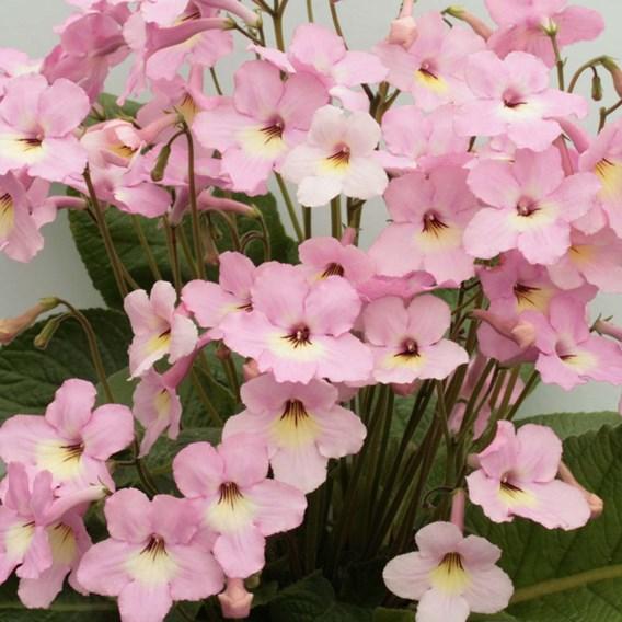 Streptocarpus Plant - Hannah