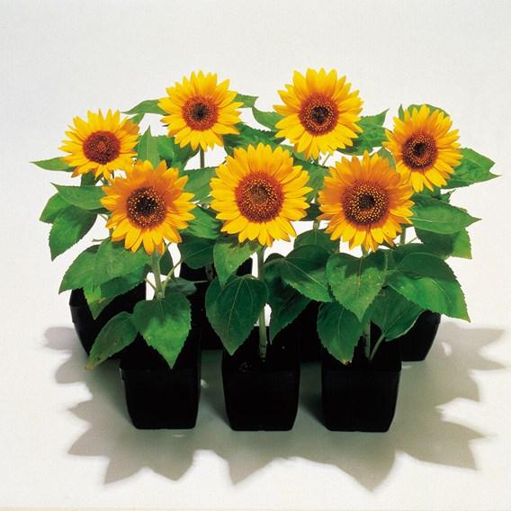 Sunflower Seeds - Big Smile
