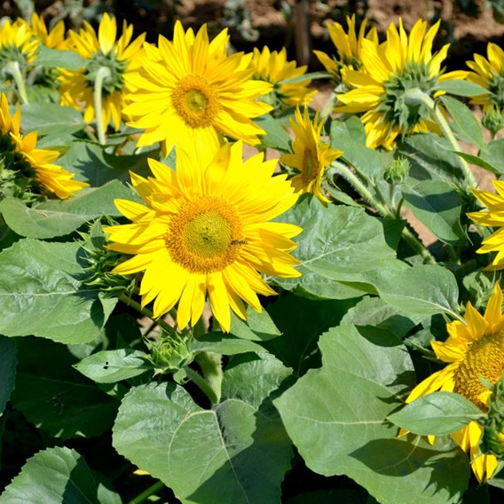 Sunflower - Suntastic F1