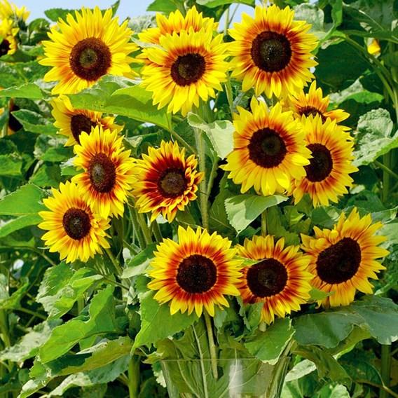 Sunflower - Solar Power F1